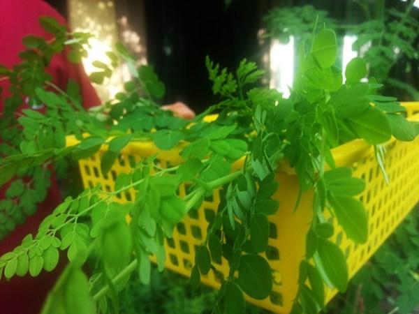 Description: rau chùm ngây, can xi, rau rừng
