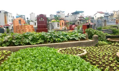 Description: an toàn thực phẩm, rau bẩn, trồng rau trong nghĩa địa
