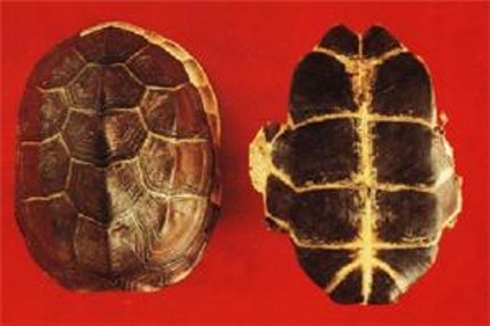 Mai rùa chứa Vitamin D