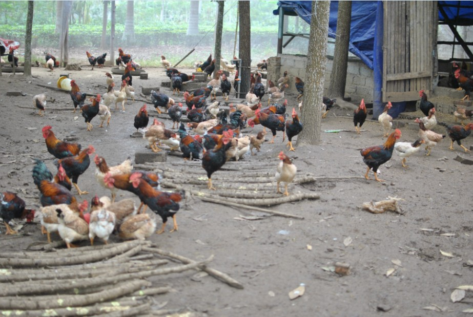 Trang Trại gà StandardFood
