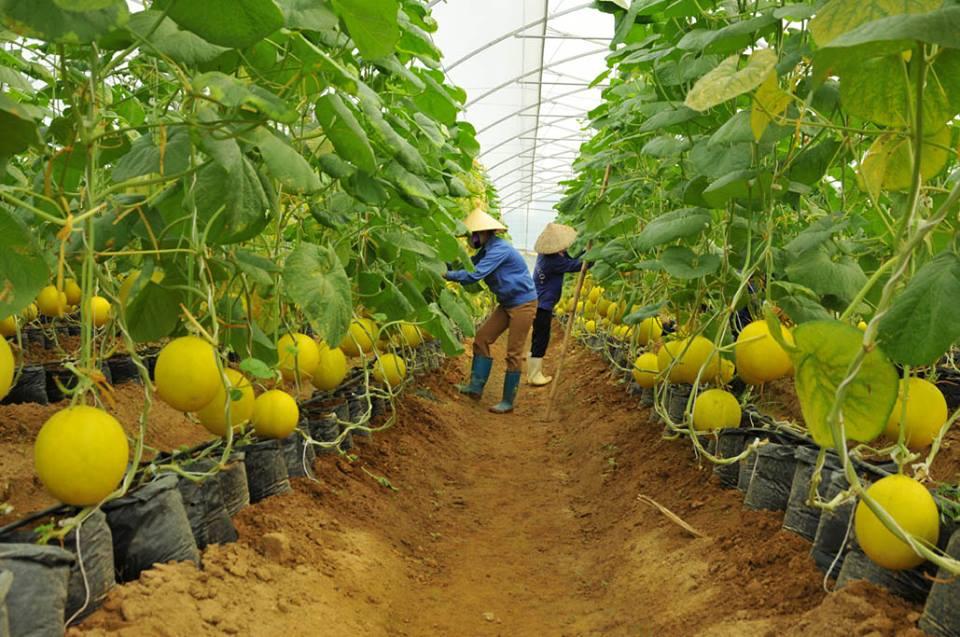 Nông dân trồng dưa