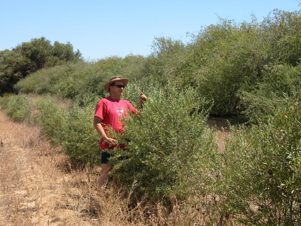 http://sandalwood.org.au/wp-content/uploads/2012/06/Sandalwood-growing-on-Tagasaste-East-Northam.jpg