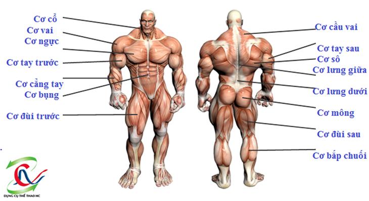 Các nhóm cơ trên cơ thể người
