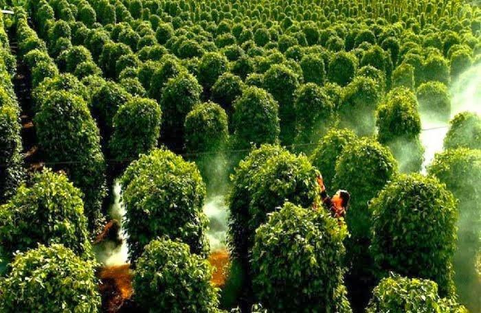 Vườn Tiêu Suối Đá.