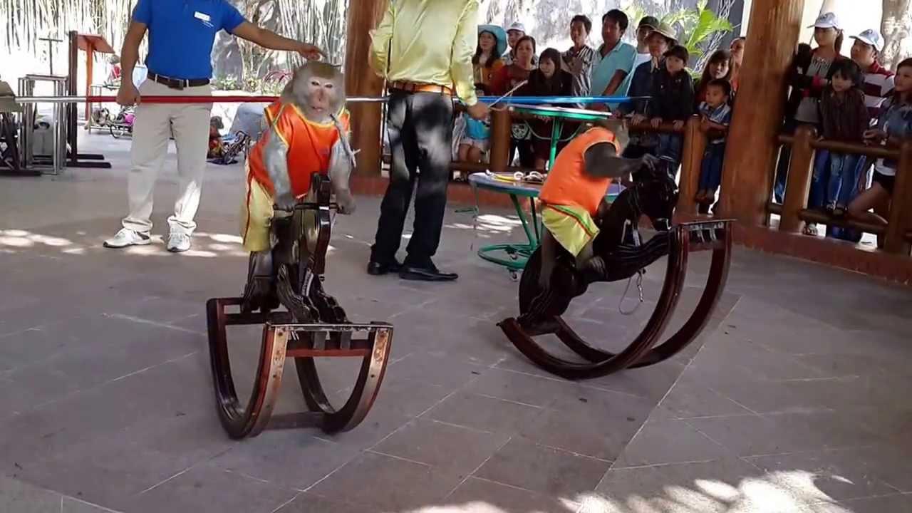 Khỉ biểu diễn xiếc ở Nha Trang