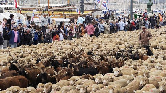 Lễ hội những chú cừu ở Mỹ