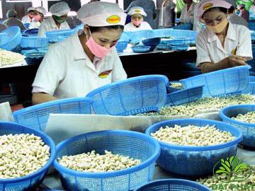 Hạt điều tiếp tục là mặt hàng xuất khẩu ưa chuộng của Ấn Độ và Brazin