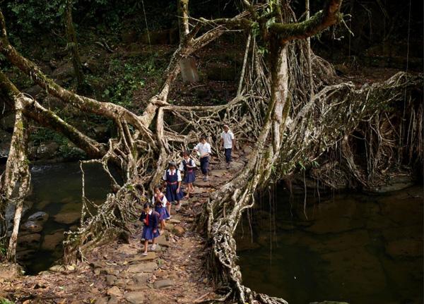 cây cầu bằng rễ cây kì lạ nhất thế giới