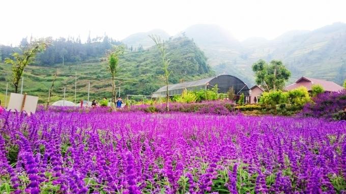 Hoa oải hương tại Lào Cai