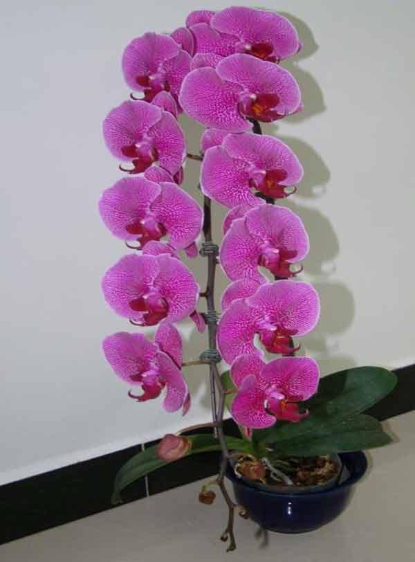 Nóng bỏng với vẻ đẹp của hoa lan hồ điệp tím