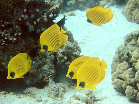 Cá Bướm Vàng