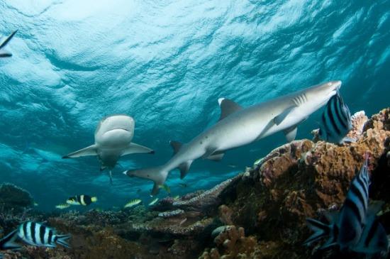Cá mập vi trắng