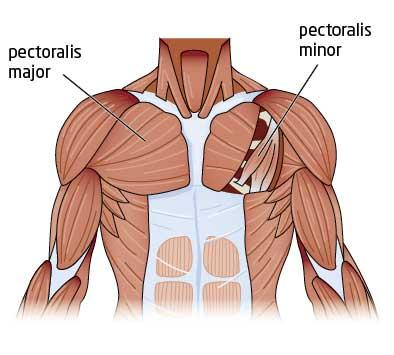 Cấu tạo cơ ngực