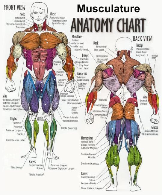 sơ đồ các nhóm cơ tập thể hình