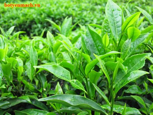 Lá trà xanh tốt cho sức khỏe con người