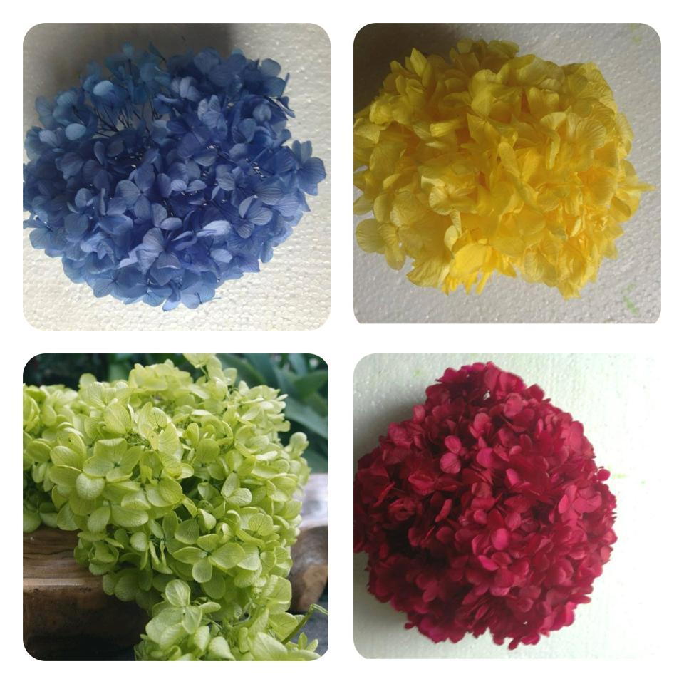 Hoa Cẩm tú Cầu Nhiều Màu