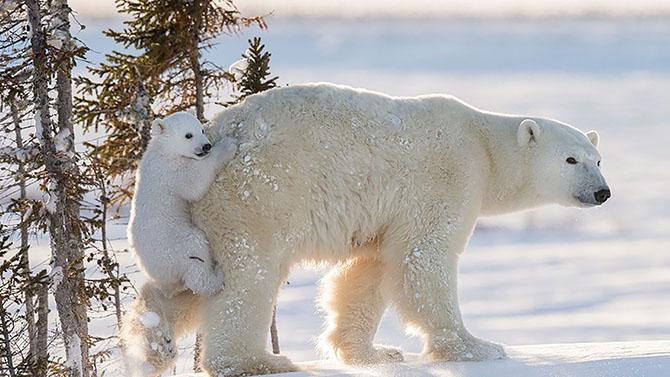 Đáng yêu khoảnh khắc gấu Bắc cực bám dính lấy mẹ
