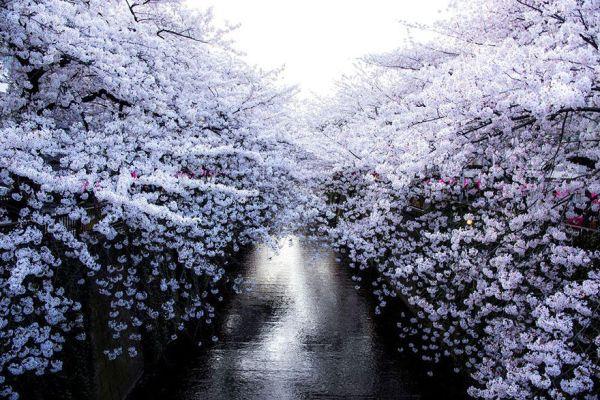 Những bức ảnh đẹp huyền ảo về hoa anh đào Nhật Bản