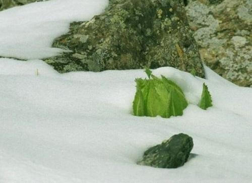 thành phần tuyết liên phong thấp linh