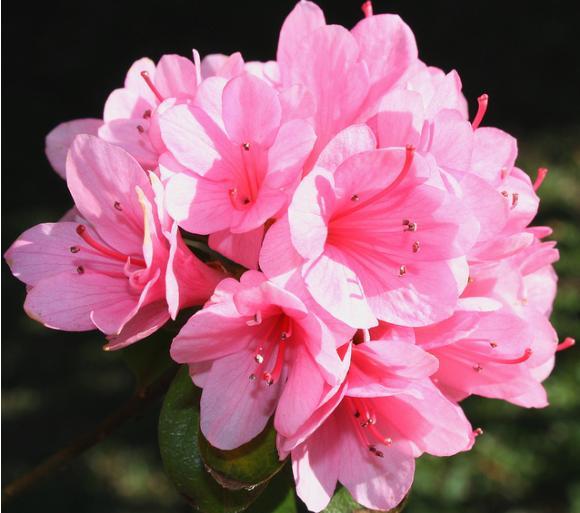 Kết quả hình ảnh cho hoa đỗ quyên
