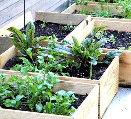 trồng rau trong hộp