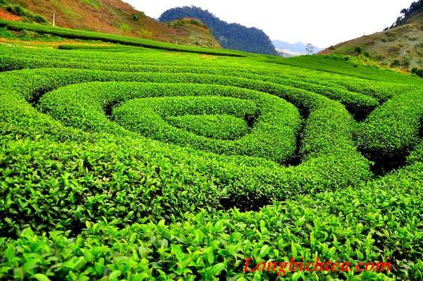 trà long bích