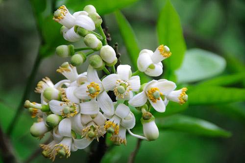 Thuốc Từ Hoa Vườn Nhà
