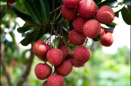 giấm hoa quả sạch