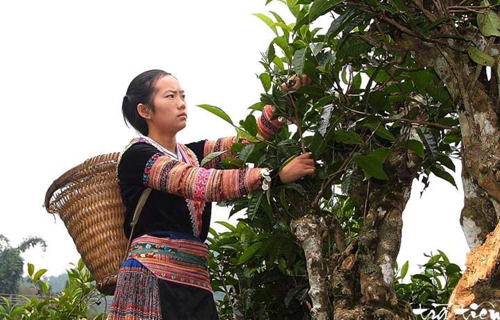 chè Shan Tuyết Suối Giàng