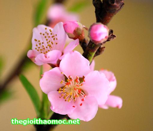 Hoa-anh-đào-(sakura)